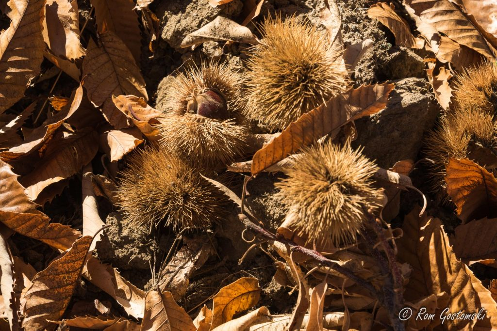 Chestnuts fallen from the trees in the chestnut plantation