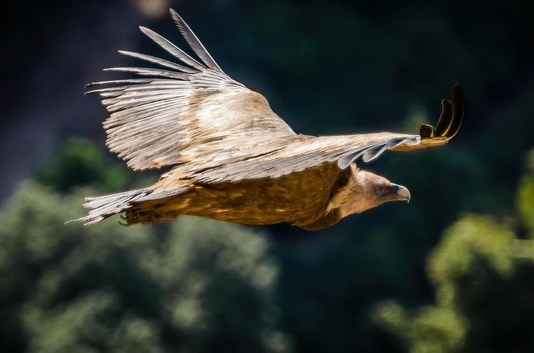 Griffon Vulture in flight photograhed at El Chorro, near Cazorla, Andalucia, Spain